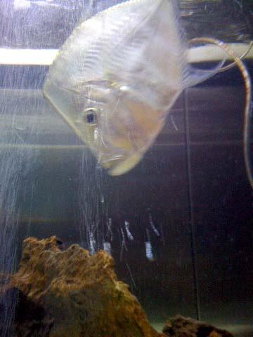 16 juin Lookdownfish